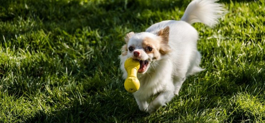 chihuahua-dog-toy